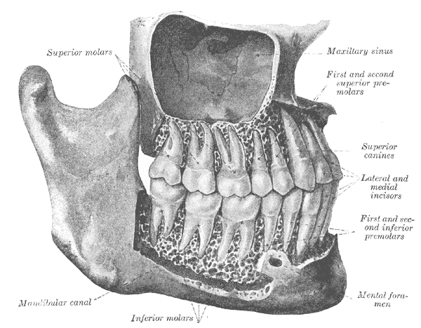 anatomía seno maxilar
